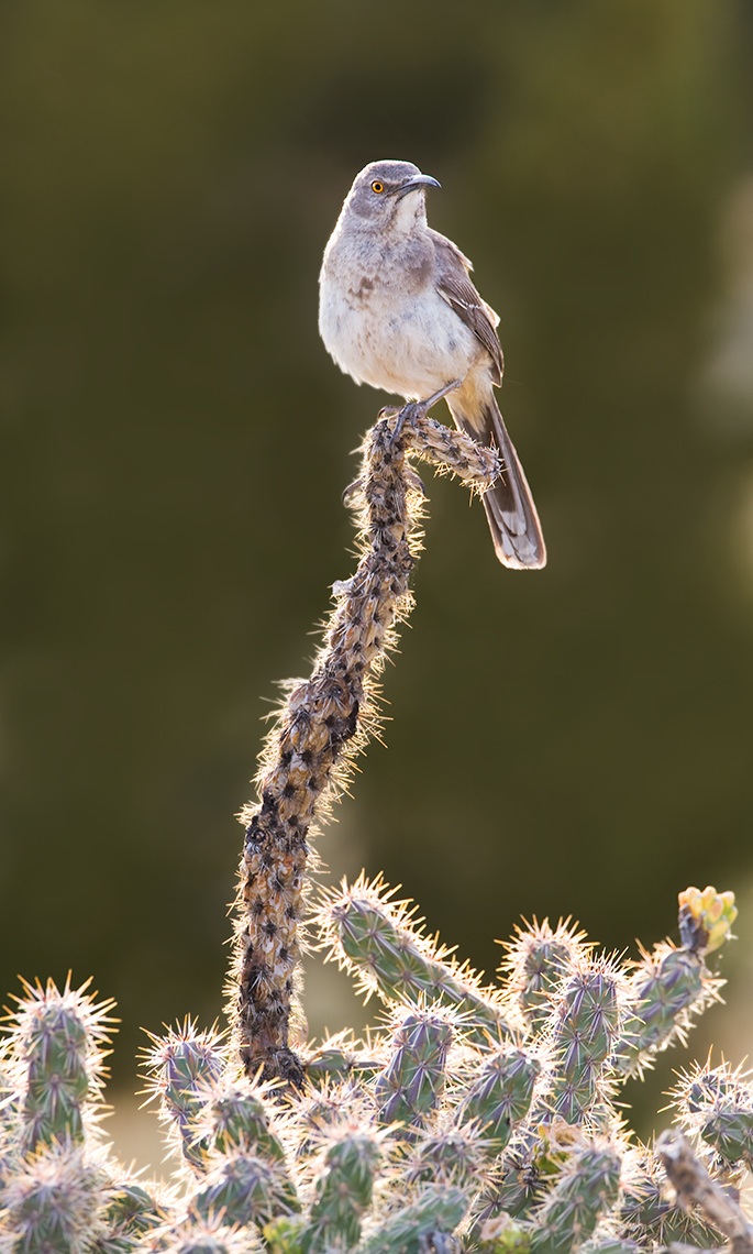 curve-billed_thrasher_3218