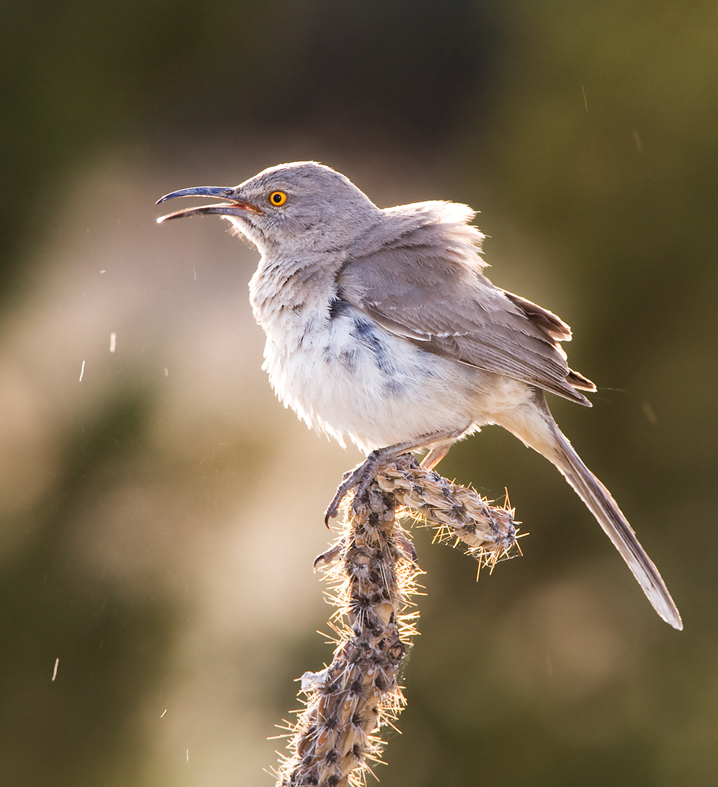 curve_billed_thrasher_3212